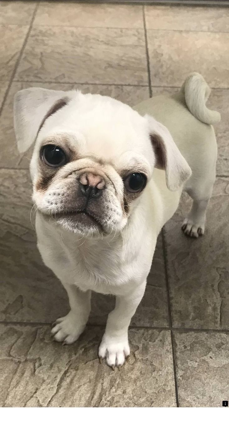 Read About Black Pug Puppies For Sale Near Me Just Click On The