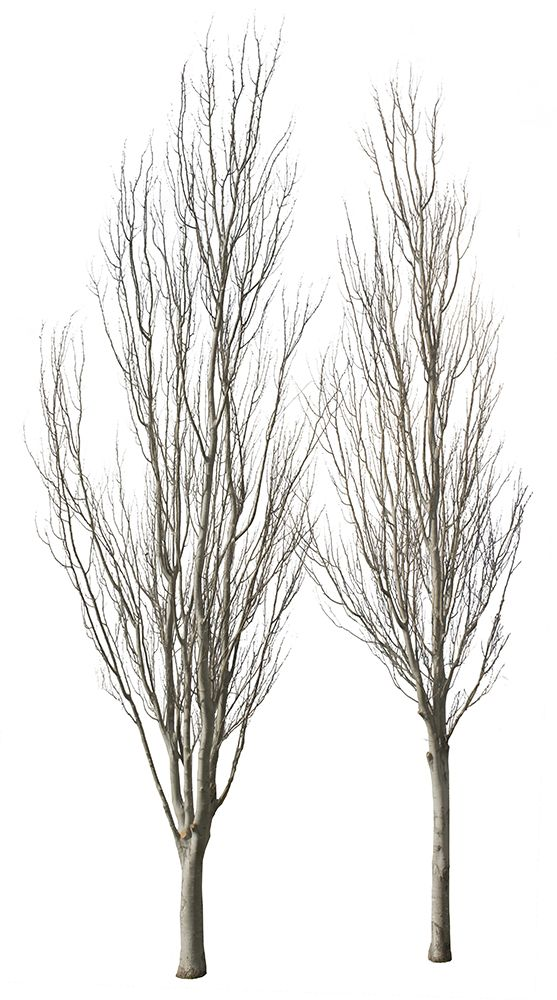 2782 x 4991 Pixels PNG, with transparent background.  White poplar tree group in winter time.  Populus alba  Abele; Silver poplar; Silverleaf poplar; White poplar; Silver-pappel; Weiß-Pappel; Peuplier argenté; Pioppo d'argento; Choupo branco.   Native to Moroco, Iberian Peninsula, central Europe to central Asia.Grows in moist sites, often by watersides, in regions with hot summers and cold to mild winters.