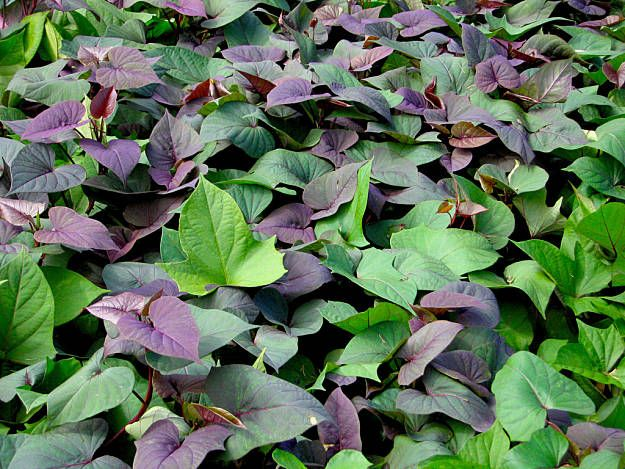 Sweet Potatoes Secret Survival Garden How To Grow A Hidden Food Supply
