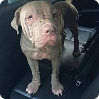 Pictures of Oliver a American Bulldog/Pit Bull Terrier Mix for adoption in Dallas, GA who needs a loving home.