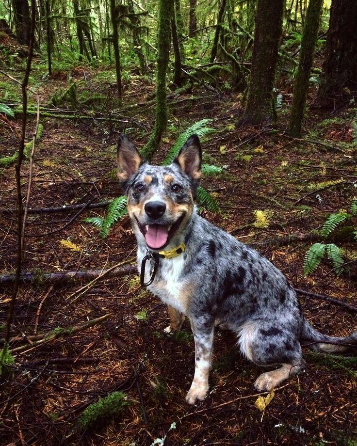 Texas Heeler Australian shepherd, Heeler puppies, Cattle dog