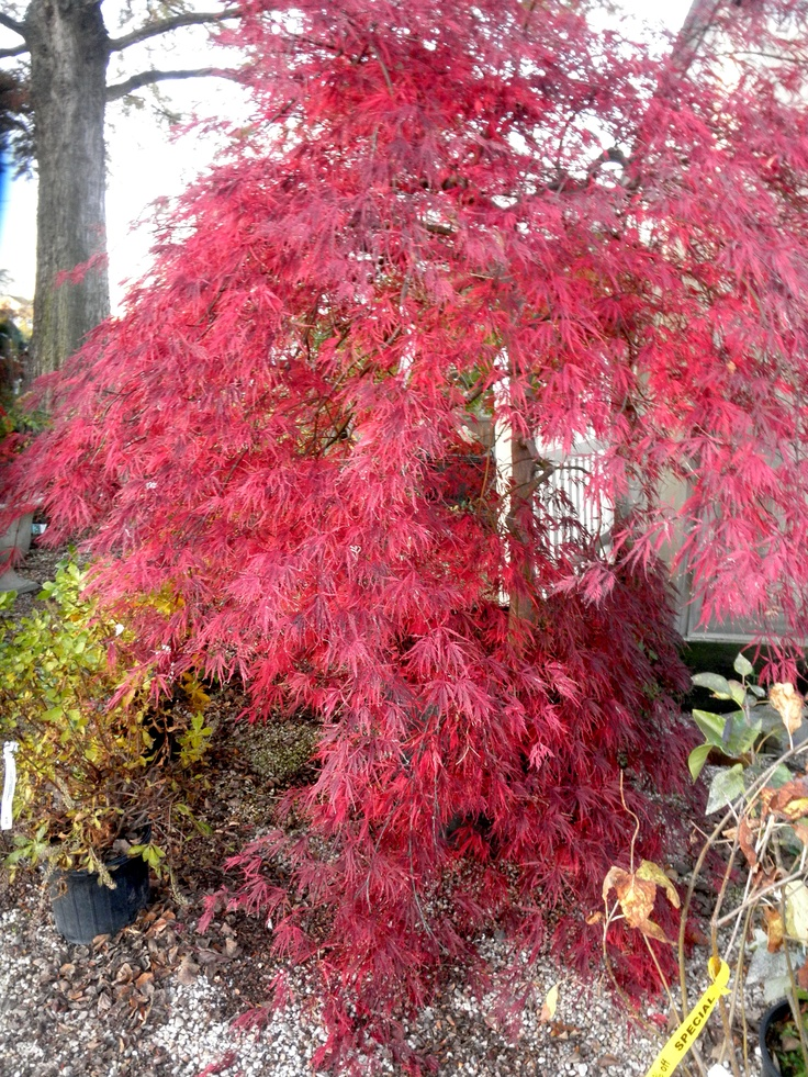 japanese-maple-mature-size-free-i-mature-galleries