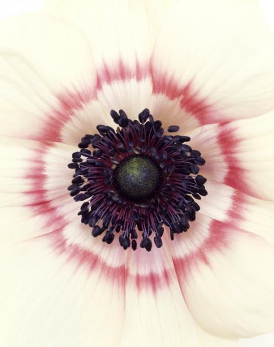 anemone coronaria, 2005 by ron van dongen.