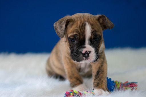Beabull Puppy For Sale In Kent Oh Adn 65116 On Puppyfinder Com