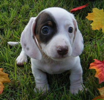 a chocolate and tan extreme piebald dachshund
