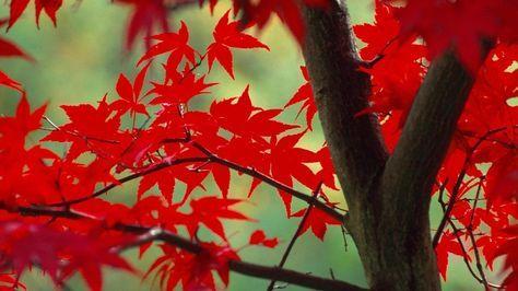 Der Fächerahorn färbt sich im Herbst besonders schön. (Quelle: imago/blickwinkel )