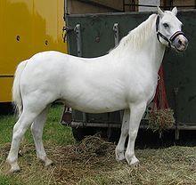 Welsh Pony and Cob - Wikipedia, the free encyclopedia