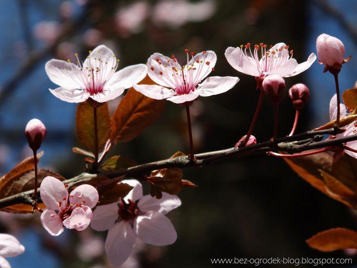 cherry blossoms in spring garden