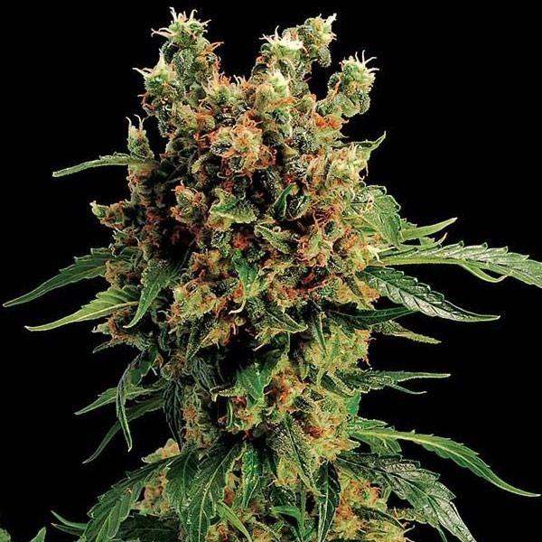 Image detail for -California Hash Plant - Semi di cannabis Femminizzati - Con Semillas