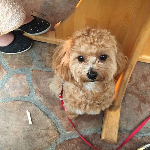 大室山でお散歩した後は伊豆を中心に数店舗展開しているKenny's House Cafe本店で美味しいシチューで温まりました🐾 高原の中にある、雰囲気も可愛らしく店員さんもとても優しくて素敵な時間を過ごす事が出来ました🐶 #マルプー#マルチーズ#トイプードル#ミックス犬#愛犬#maltese#toypoodle#maltipoo #moodle#dog #dogstagram#doglover#lovedogs#instadog#ケニーズハウスカフェ