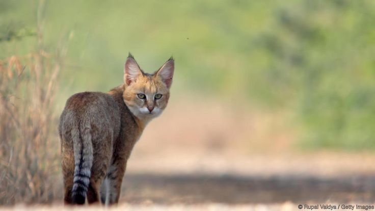 Jungle cat (Felis chaus) Despite their name, jungle cats actually inhabit the tall grasses and reeds of Egypt's wetlands. Although these cautious predators are notoriously difficult to tame, a small number have been found among the cat mummies of Ancient Egypt