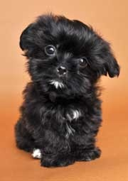 Shorkie  Shih Tzu + Yorkie  If Kim and I mixed our dogs