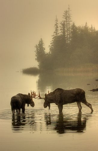 Moose Point face-off on Isle Royale, Michigan's only national park, located in the northwest corner of Lake Superior.  (For the sake of the purist, yes, there are other National Park Service facilities in Michigan, including Keweenaw National *Historic* Park, but Isle Royale is the only pure National Park.)