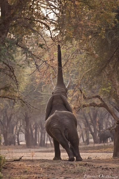 Zambezi Stretch by Etienne Oosthuizen.... Every year the winter thorn tree drop hundreds of valuable pod onto the Zambezi flood plane, which feeds the numerous inhabitant through the winder months, this particular elephant could not wait for the pods to fall.