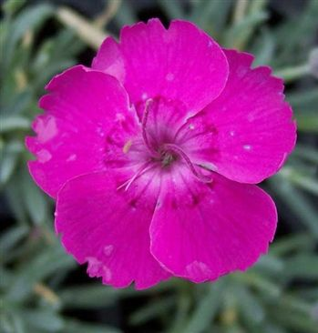 Dianthus Whatfield magenta