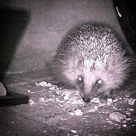 #egel #hedgehog #igel