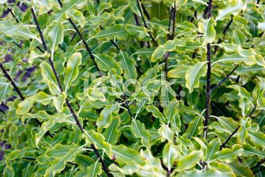 Pittosporum Tenuifolium (Kohuhu) Royalty Free Stock Photo