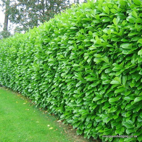 Laurel Hedge - Google Image Result for https://www.evergreenhedging.co.uk/media/wysiwyg/Laurel_hedge_02_2_.jpg