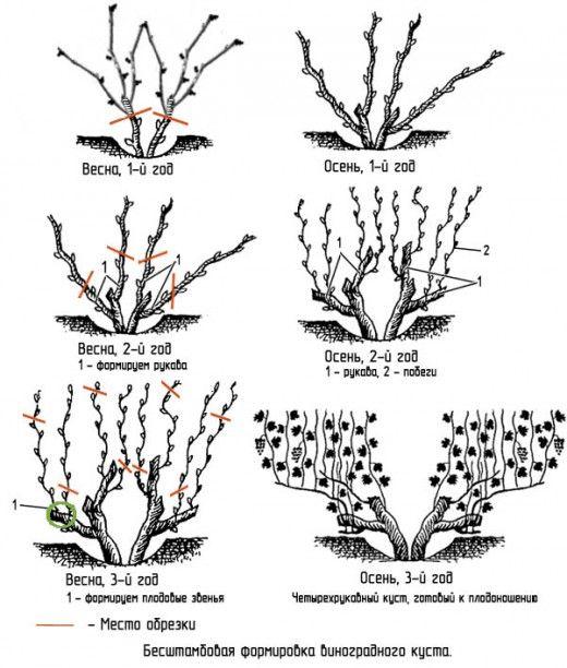 Схема Бесштамбового формирования виноградного куста