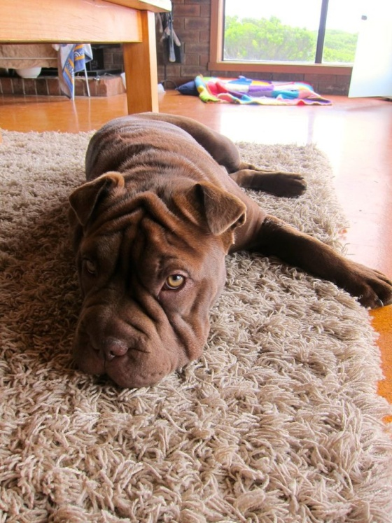 Clancy the bulldog/shar pei puppy http://cuteoverload.com/2013/01/16/candidate-for-best-puppeh-name-evah/