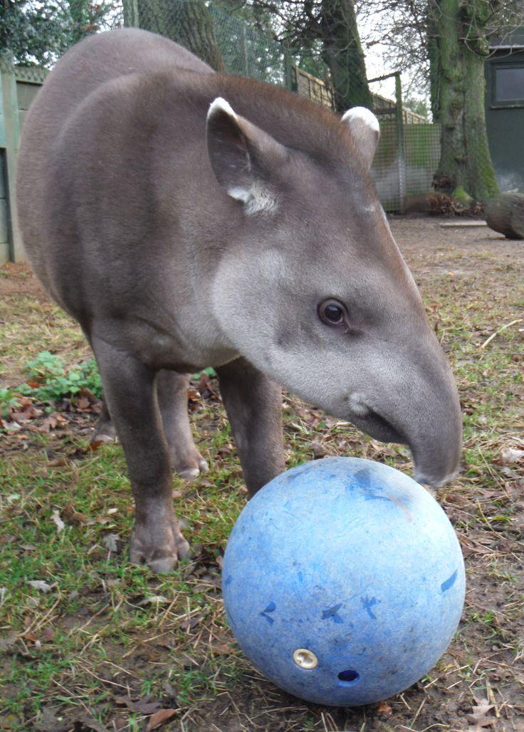 Tapir Enrichment Google Search Zoo Animals American