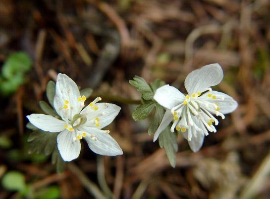 너도바람꽃, Eranthis stellata  MAX. (NAKAI)