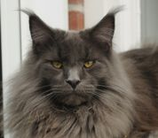 Maine Coon, Blue Solid (a). Southmoor's Colvic Watson