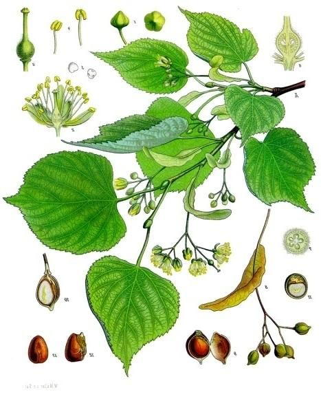 …... Botanical term: Tilia cordata