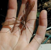 EARTHLY HAPPENINGS: Do Mosquito Eaters Eat Mosquitos?