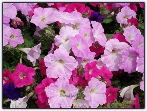 Petunya Çiçeğinin Yetiştirilmesi, Bakımı ve Türleri - Sayfa 9 - Forum Gerçek