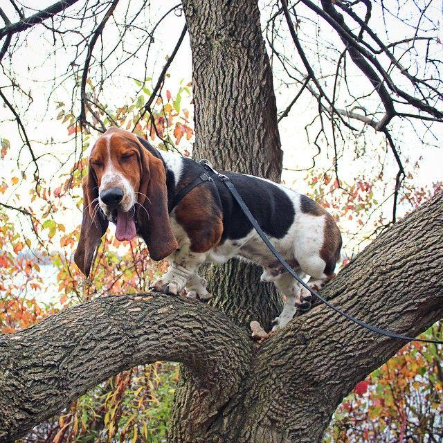 de 381 bedste billeder fra basset hound p pinterest bassetthund hunde og dyr. Black Bedroom Furniture Sets. Home Design Ideas