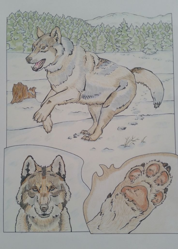 Wolf - Adult coloring