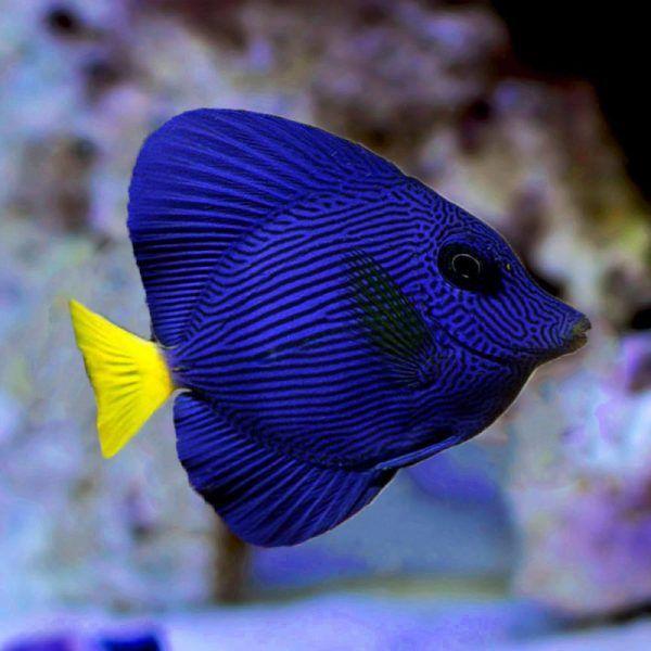Purple Tang Reef Warehouse Reef Safe Fish Tang Fish Marine Fish