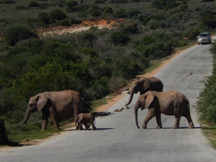 Elephants crossing the road in front of our car, Addo Elephant National Park