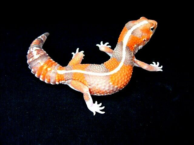 Striped Tangerine Albino African fat-tailed gecko.