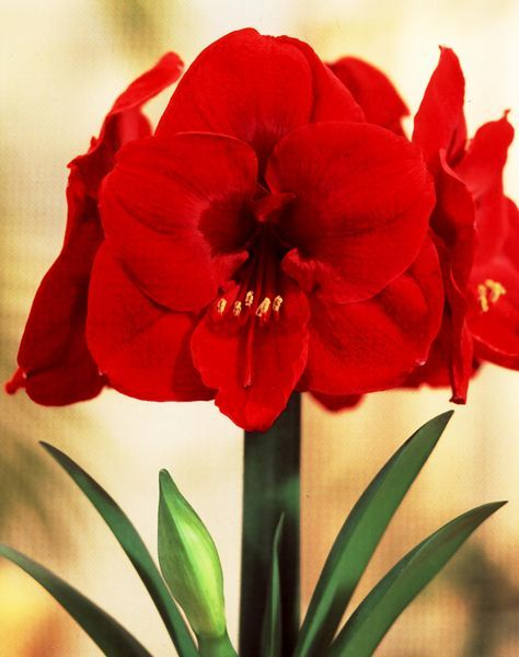 Amaryllis Care Recommendations from UW-Extension Waukesha. Click picture for more information.