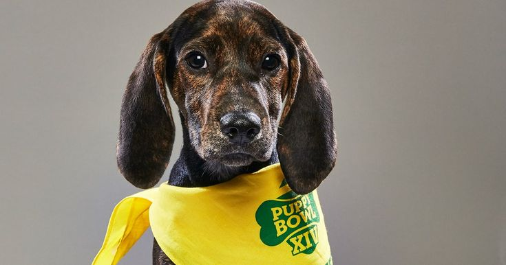 """Puppy Bowl XIV will kick off with """"The Star-Spangled Banner"""" played by Jokgu, the piano-playing chicken."""