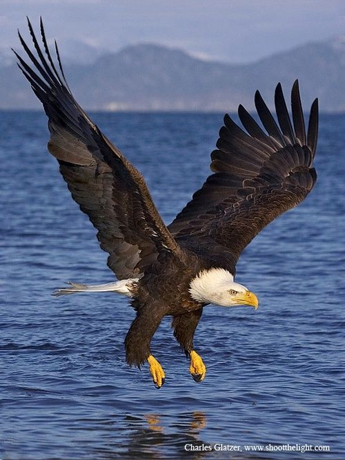 Bald Eagle - it's awesome to see them circle the water, swoop down, grab a fish, and fly away!