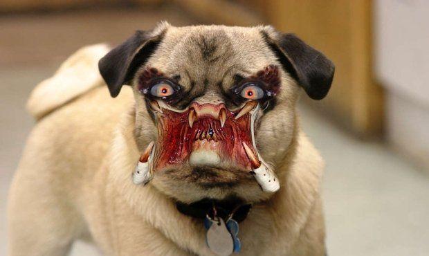 Cat Predator Pugs Funny Dogs