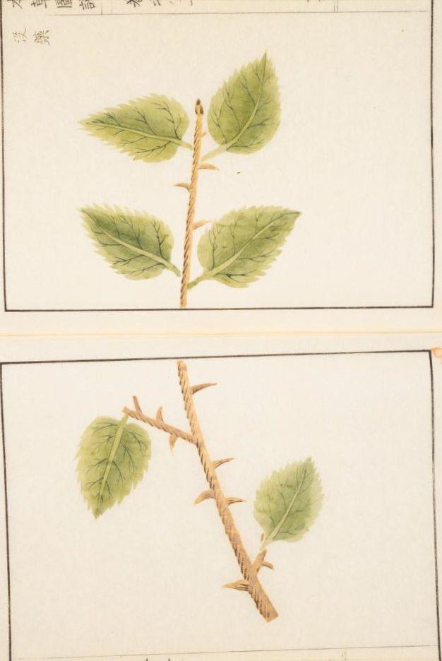 没薬 Myrrha 本草図譜, Honzo-Zufu, KanEn Iwasaki (1830)