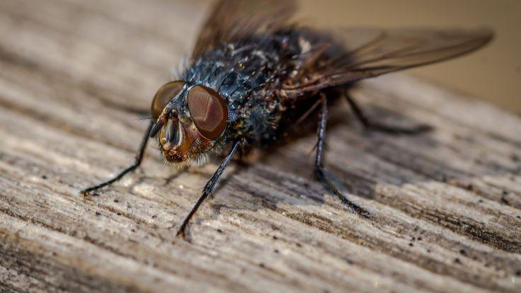 flesh fly 2 - flesh fly