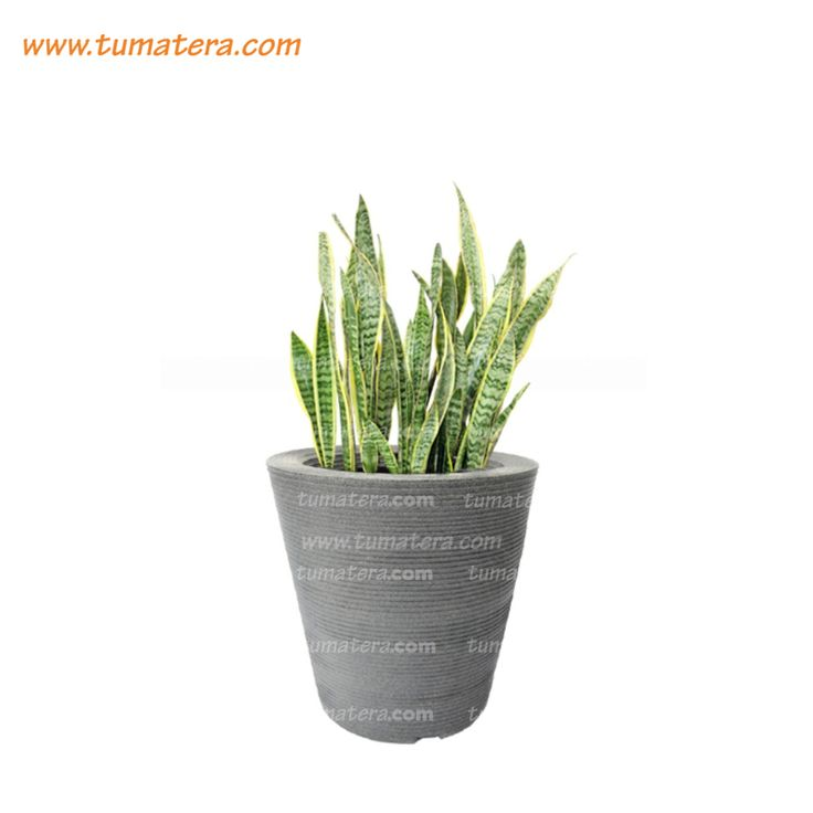 Encuéntralas en: https://www.tumatera.co/products/combo-conica-59cm-con-sanseviera/