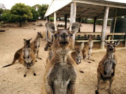 Flinders Chase National Park on Kangaroo Island is a sanctuary for the curious marsupials, as well as wallabies, fur seals, and koalas.