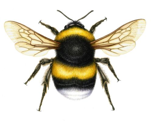 Lizie Harper natural history illustration of a bumble bee