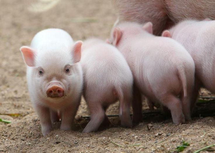 mini pigs | ... September sind fünf Mini-Pigs im Zoo Hannover zur Welt gekommen  with wings!