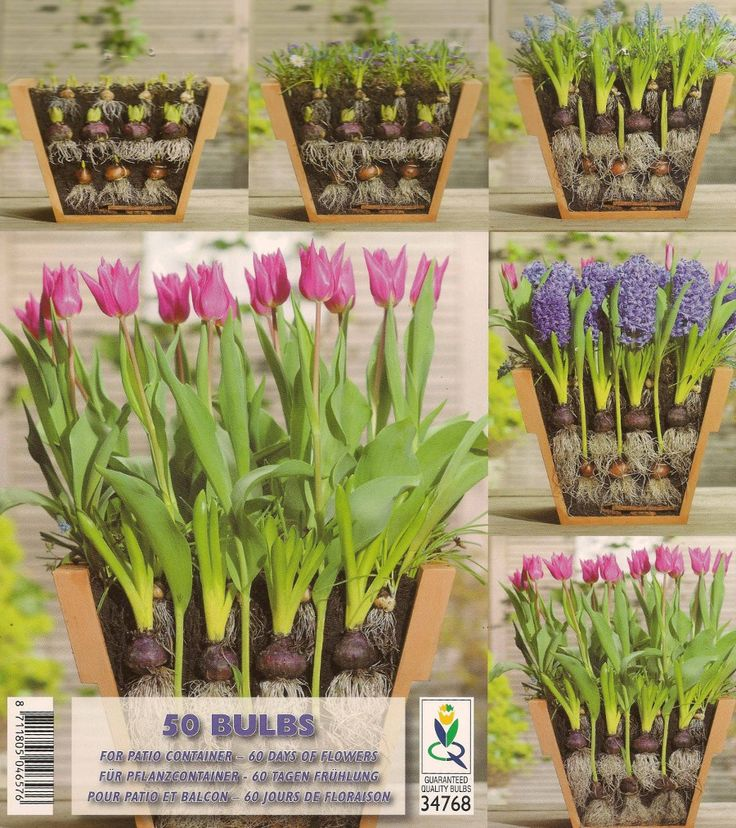 17 Best Images About Gardening Bulbs On Pinterest