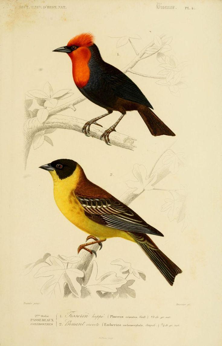 Les 21 meilleures images du tableau buffon histoire for Oiseau couleur