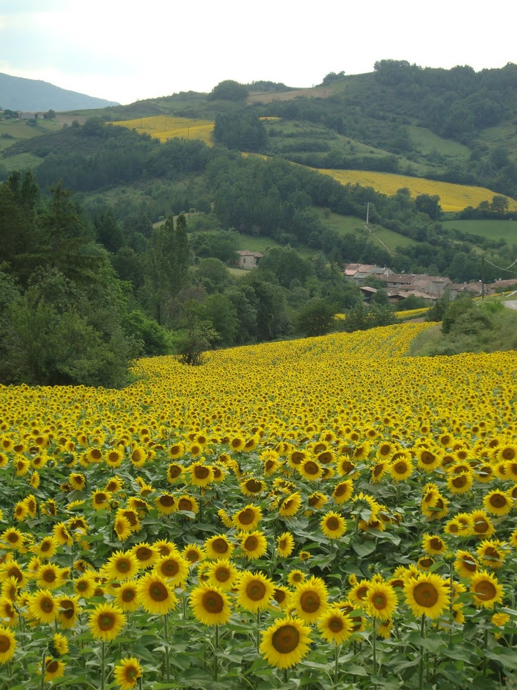 Sunflowers in the Italian countryside