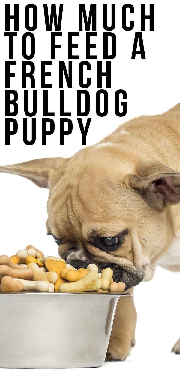 How Much To Feed A French Bulldog Puppy With Images Bulldog