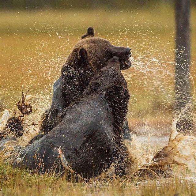 A real Bear fight! #nikon #nikonambassador #nikontop #iamnikon #marvelshots #elite #wwf #natgeo #finland #brownbear #brunbjørn #bjørn #bear #splendidanimals #wildlife #naturelovers #nature #brendhagen #finland #wildgeography